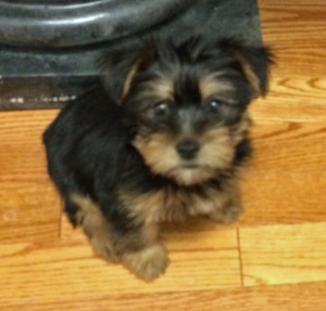 silky terrier puppy trained with positive reinforcement