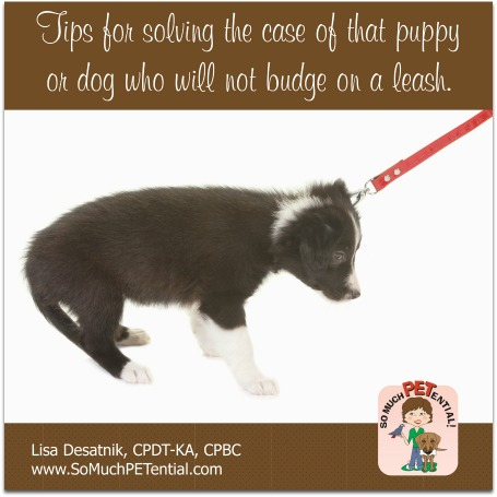 dog training tips for a stubborn dog or puppy that will not budge on leash