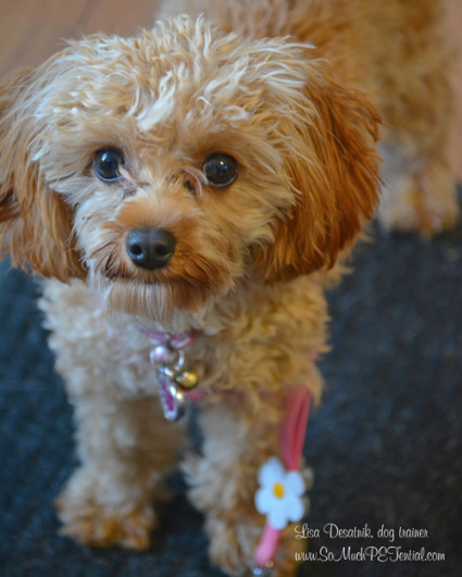 Bella is a Cavadoodle and client of Cincinnati dog trainer Lisa Desatnik