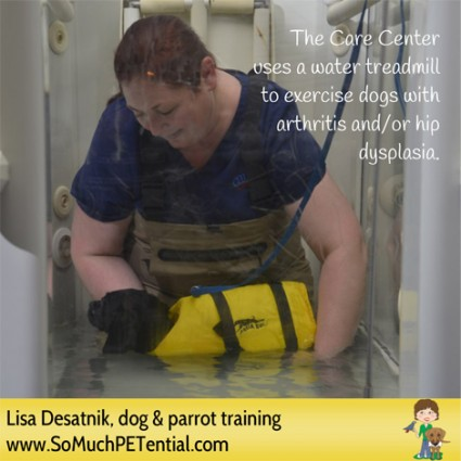 Care Center Animal Hospital in Cincinnati uses a water treadmill to exercise dogs with arthritis or hip dysplasia
