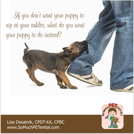 tips for stopping your puppy from nipping at your ankles by Cincinnati certified dog trainer Lisa Desatnik, CPDT-KA